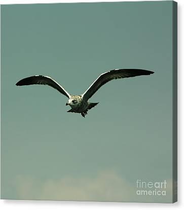Gull In Flight 2 Canvas Print by Marjorie Imbeau