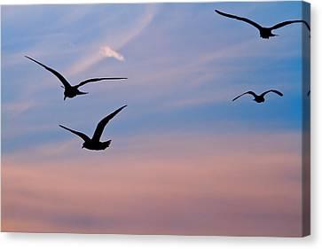 Gulls At Dusk Canvas Print by Karol Livote