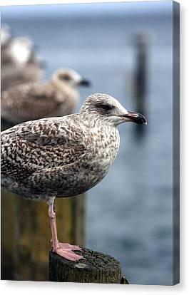 Gulls Canvas Print by Falko Follert