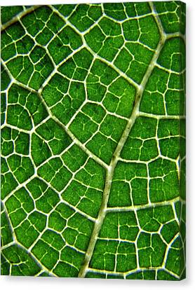 Gunnera Manicata Leaf Canvas Print by Heather McCallum (mizzledrizzle)