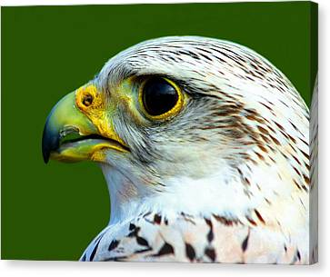 Gyr Falcon Canvas Print
