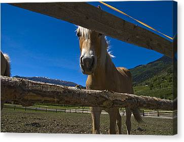 Haflinger Horse Looks Through A Fence Canvas Print by Todd Gipstein