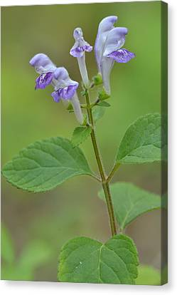 Canvas Print featuring the photograph Hairy Skullcap by JD Grimes