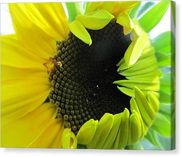 Canvas Print featuring the photograph Half-bloom Beauty by Tina M Wenger