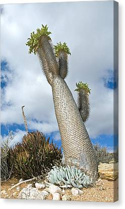 Halfmens Tree Canvas Print by Peter Chadwick