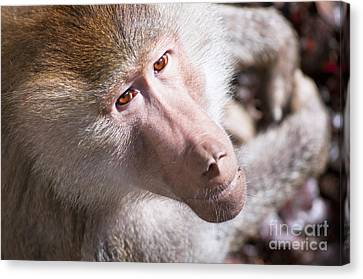 Hamadryas Baboon Canvas Print by Andrew  Michael