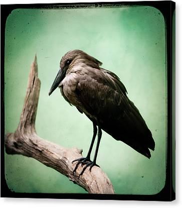 Hamerkop Canvas Print by Gary Heller