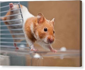 Hamster Canvas Print by Tom Gowanlock