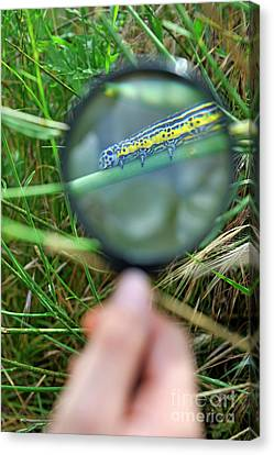 Hand With Magnifying Glass Looking At A Worm On Grass Canvas Print by Sami Sarkis