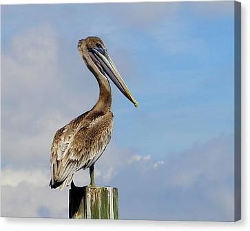Handsome Brown Pelican Canvas Print