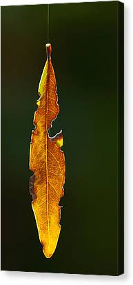 Hanging By A Thread Canvas Print by Don Durfee