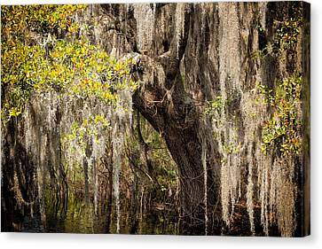 Hanging Moss Canvas Print by Denis Lemay