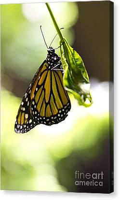 Hanging On  Canvas Print by Leslie Leda