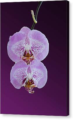 Hanging Orchids Canvas Print by Matthew Bamberg