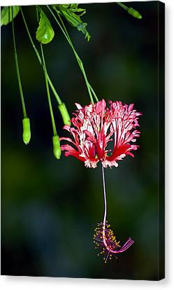Hanging Coral Hibiscus Canvas Print by Lehua Pekelo-Stearns