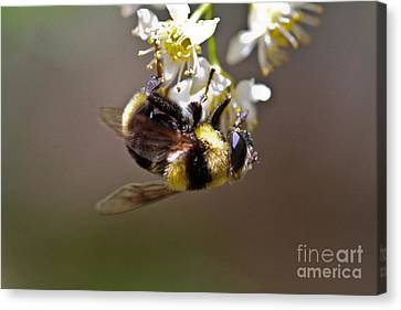 Hanging With The Bumble Bee Canvas Print by Mitch Shindelbower