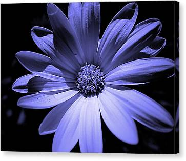 Happy African Daisy In Blue Canvas Print by Beth Akerman
