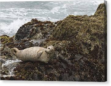 Harbor Seal  Point Lobos State Reserve Canvas Print by Sebastian Kennerknecht