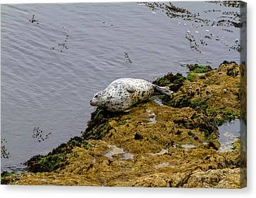 Harbor Seal Taking A Nap Canvas Print by Sharon Nummer