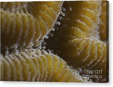 Hard Coral Polyps At 5x Life Size Canvas Print by Terry Moore