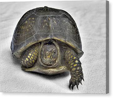 Hare-less Tortoise Canvas Print