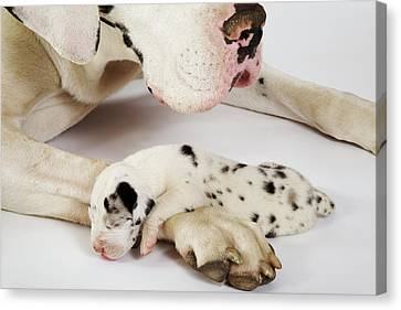 Harlequin Great Dane Puppy Sleeping On Mother's Paw, Studio Shot Canvas Print by Martin Harvey