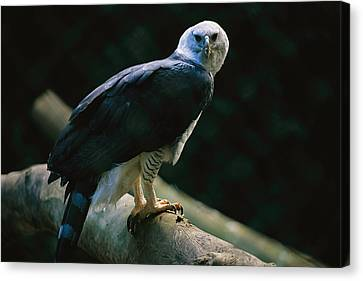 Harpy Eagle Canvas Print - Harpy Eagle Harpia Harpyja by Joel Sartore