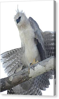 Harpy Eagle Harpia Harpyja Recently Canvas Print