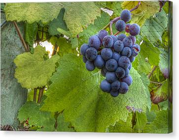 Vintner Canvas Print - Harvest Ready by Jean Noren