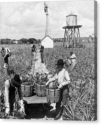 Harvesting Indian River Pineapples - C 1906 - Florida Canvas Print by International  Images