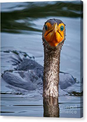 Phalacrocorax Auritus Canvas Print - Have You Seen A Fish Around Here by Carl Jackson