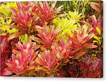 Bromeliad Canvas Print - Hawaiian Volcano Plants by Ron Dahlquist - Printscapes