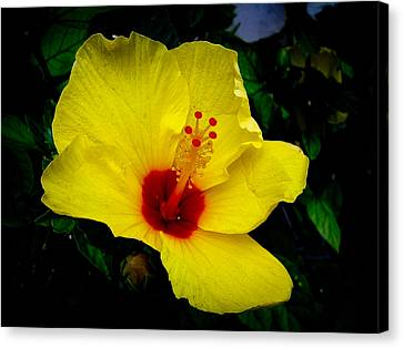 Canvas Print featuring the photograph Hawaiian Yellow Hibiscus by Athena Mckinzie