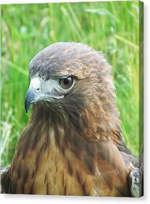 Hawk-eye Canvas Print by Todd Sherlock