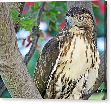 Hawk In Tree 3 Canvas Print by Becky Lodes