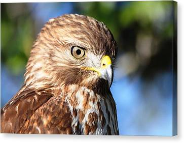 Canvas Print featuring the photograph Hawk In Viera Florida by Jeanne Andrews