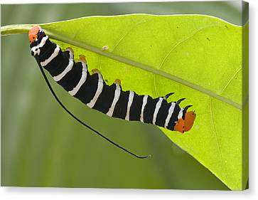 Hawk Moth Caterpillar Guyana Canvas Print by Piotr Naskrecki