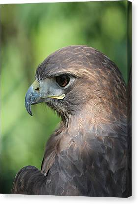 Hawk Profile Canvas Print by Alexander Spahn