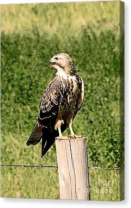 Hawk Warning Canvas Print by Al Bourassa