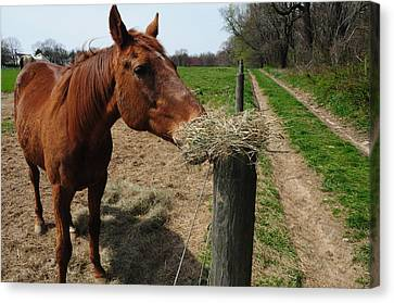 Hay Is For Horses Canvas Print by Bill Cannon