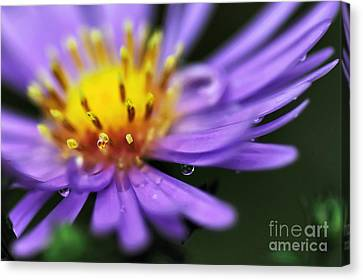 Hazy Daisy... With Droplets Canvas Print by Kaye Menner