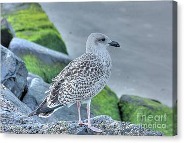 Hdr Seabird Seascape Oceanview Pictures Photos Gallery Buy Sell Selling  Bird Pics Canvas Print by Pictures HDR