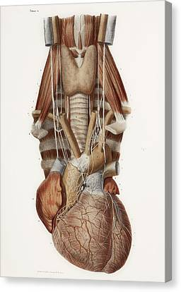 Heart And Neck, Historical Illustration Canvas Print by