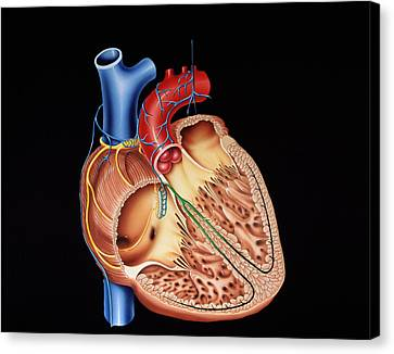 Heart Structure Canvas Print by Francis Leroy, Biocosmos