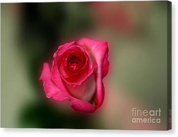 Canvas Print featuring the photograph Heavenly Rose by Michael Waters