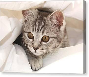 Hello Kitten Canvas Print by Claudia Moeckel