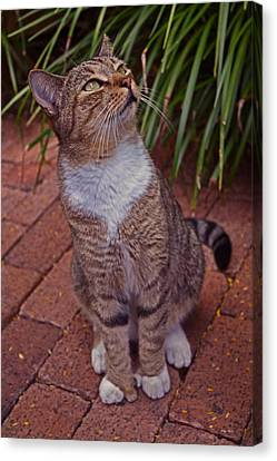 Hemingway House 6 Toed Cat 01 Canvas Print by George Bostian