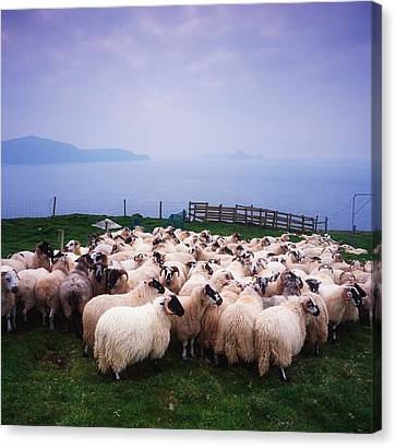 Herding Sheep, Inishtooskert, Blasket Canvas Print