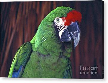 Canvas Print featuring the photograph Here's Looking At You Military Macaw Riviera Maya Mexico by John  Mitchell