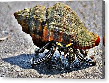 Hermit Crab Canvas Print by John Collins